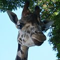 żyrafa #żyrafa #zoo