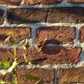 #motyl #ściana #cegły