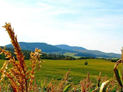kukurydziane pola
