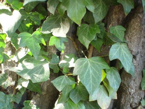 Bluszcz #bluszcz #roślina