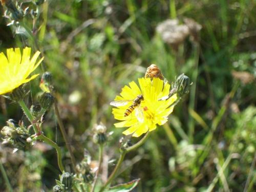 Pszczoła na kwiatku #pszczoła #owad #osa