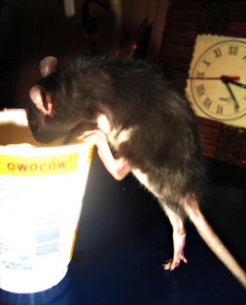 Zuzia i jogurt vol. 2 :> #SzczurSzczurySzczurkiSzczurek