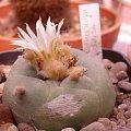 wystawa kaktusów warszawa 2007 #WystawaKaktusów #warszawa #lophophora #LophophoraDiffusa