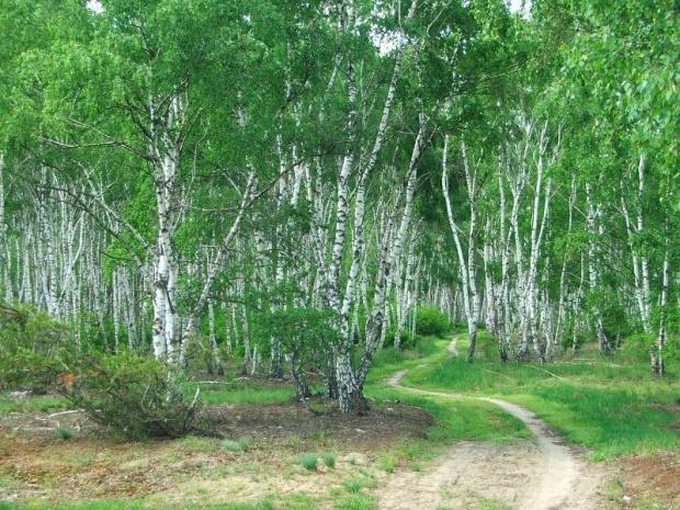 Jedziemy ścieżką wzdłuż torów kolejowych #las #brzozy