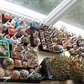 duze ariaki kolekcja #ariocarpus #astrophytum #kolekcja #lophophora #mammilaria #turbinicarpus #kaktus