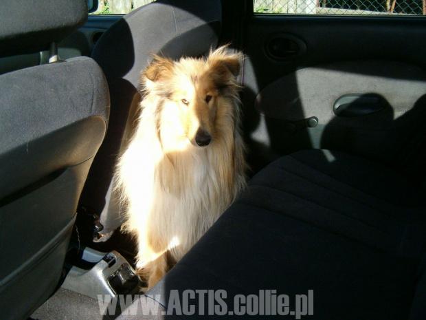 Prawidłowe przewożenie psa w samochodzie