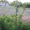 Bluszcz wijący się na ogrodzeniu i inne krzaki z ogrodu... #rośliny #przyroda #pnącze #płot
