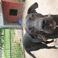 Zdjątka mojego psiska- Sary. #psy #ssaki #dog #niemiecki #foty